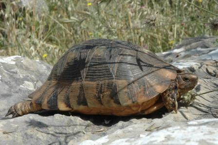 testudo_marginata_Greece20060502_019