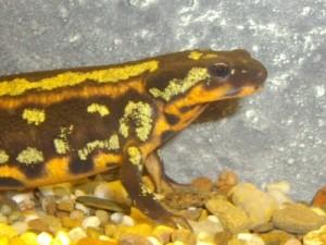Cynops ensicauda popei. (Salamandervereniging)