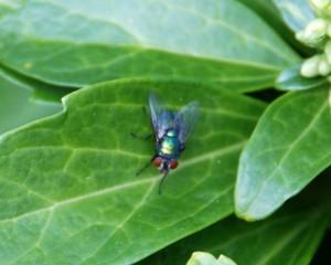 groene vleesvlieg Lucilia serricata