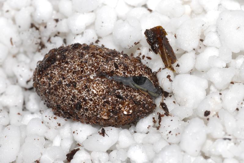 S. van Veen (Een O. monilis ziet eerste levenslicht)
