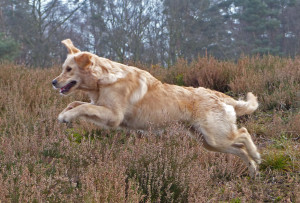 los lopen Golden retriever