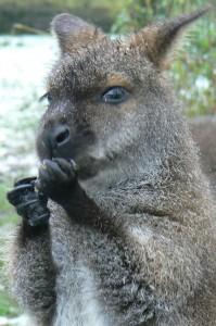 Bennett wallabie (foto Helma van Dijk)