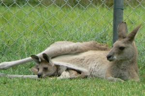 grijze reuzen kangoeoe (foto Helma van Dijk)