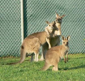 grijze reuzen kangoeroe  (foto Helma van Dijk)