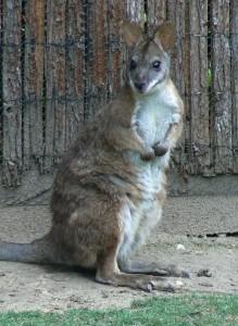 Parma wallaby  (©Helma van Dijk)