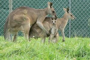 grijze reuzen kangoeroe met joey(©foto Helma van Dijk)