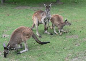 Westerse grijze kangoeroe (© Helma van Dijk)