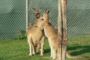grijze reuzen kangoeroe (©foto Helma van Dijk)