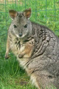 Tammar wallaby (foto Helma van Dijk)