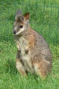 Tammar wallaby (©foto Helma van Dijk)
