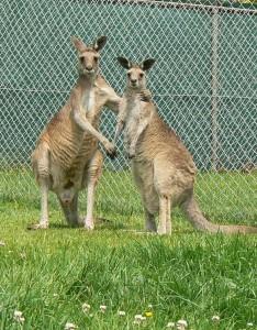 grijze reuzen kangoeoe
