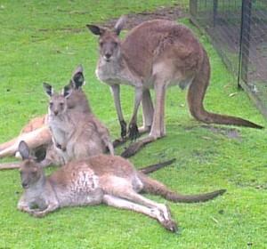 Westerse grijze kangoeroe (© Edward Nijhoff)