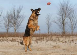 hond duitse herder bal
