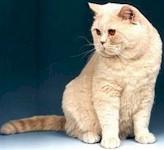 kat brit crème