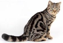 kat brit black tabby blotched