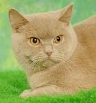 brit kat fawn zandkleur