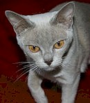 burmese lilac: bbcbcbdd