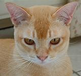 burmees kat cᵇcᵇ red