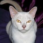 burmese lilac: bˡˡbˡcᵇcᵇdd