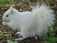 witte  albino eekhoorn