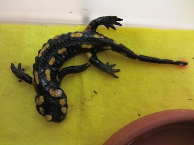 overleden salamander