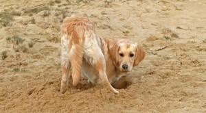 spelende goldens zand