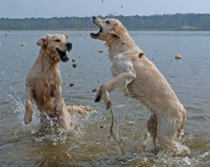 spelende goldens water