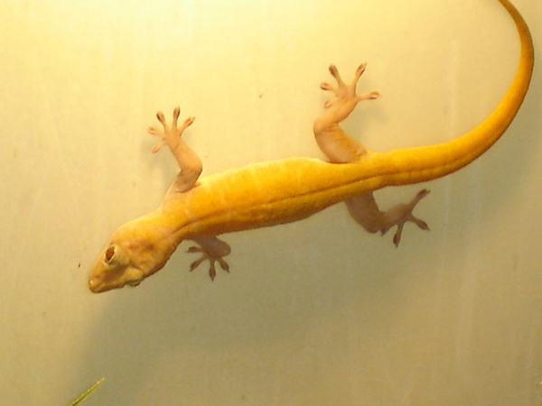 gouden gekko gekko ulikovskii platform verantwoord huisdierenbezit